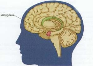 amygdala-web1