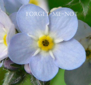 forgetmenotflower-wiki